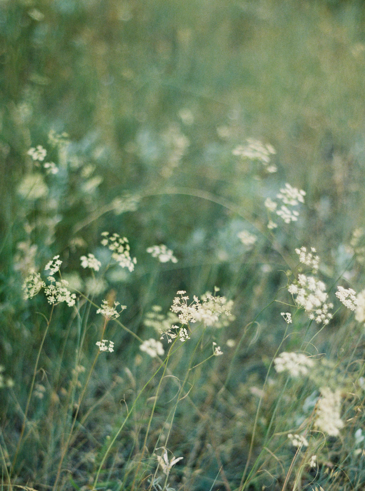 Queen Annes Lace captured on film by Destination Wedding Photographer Anna Peters