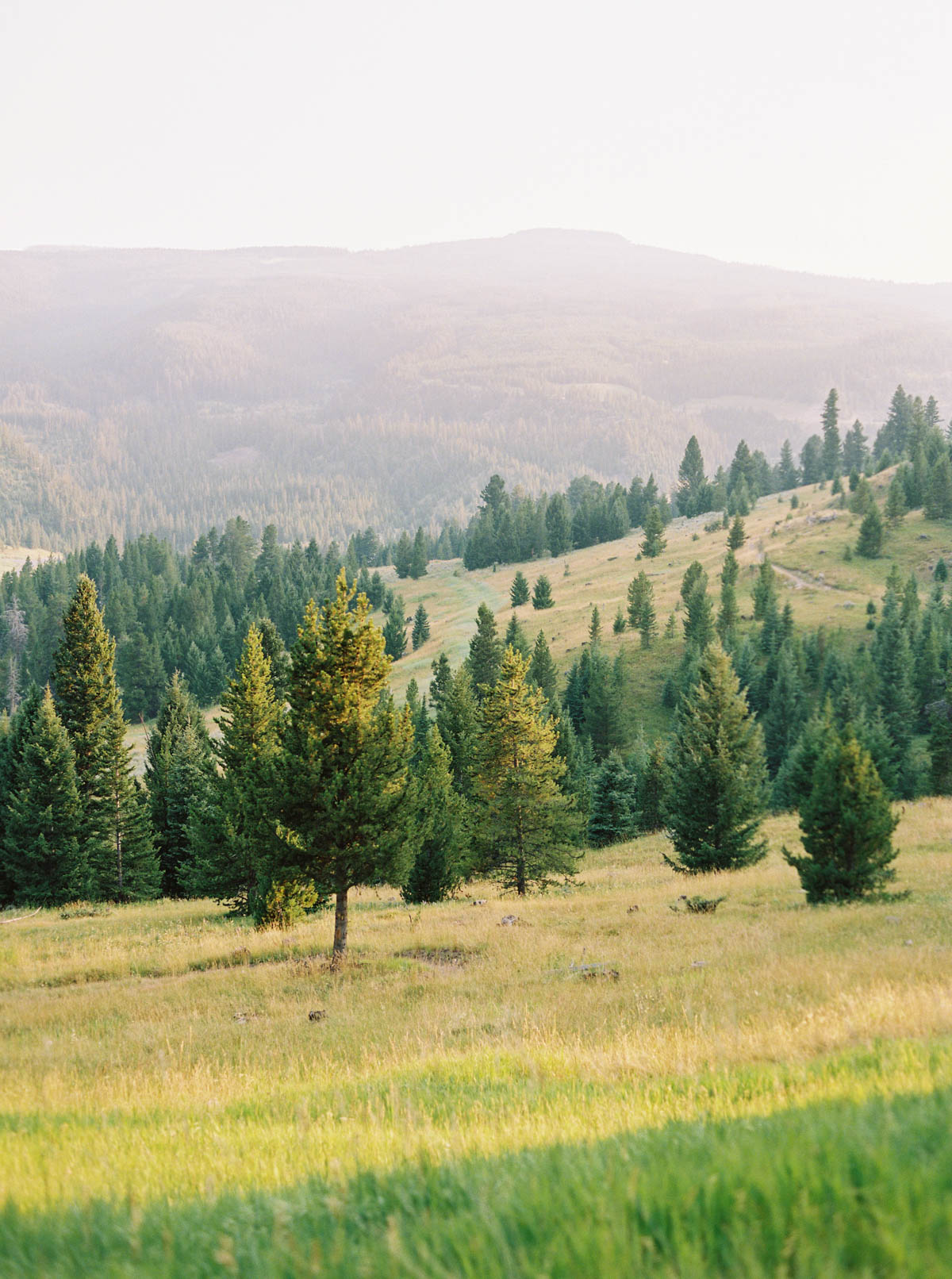 An evening landscape with evergreen trees in Big Sky, Montana